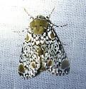Harrisimemna trisignata - Harris's Three-spot Moth - Harrisimemna trisignata