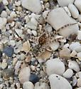 beach spider - Arctosa littoralis