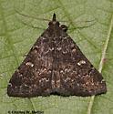Moth - Hypenula caminalis