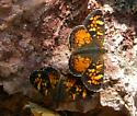 Tawny Crescents - Phyciodes batesii - male