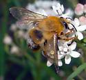 Bee on Arizona Milkweed - Ptiloglossa