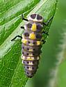Polished Lady Beetle larva - Cycloneda munda