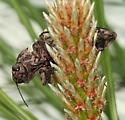 Western Sculptured Pine Beetle - Chalcophora angulicollis