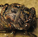 Dog-day Cicada - Neotibicen canicularis