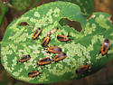 leaf miner destruction - Odontota dorsalis