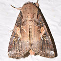 9666 – Spodoptera frugiperda – Fall Armyworm Moth 2863 2016 08 10 Thornton NH - Spodoptera frugiperda