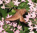 Hummingbird Hawk Moth?? - Enyo lugubris