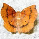 moth - Metarranthis lateritiaria