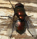 Red fly (Lucila sp?) - Lucilia - male