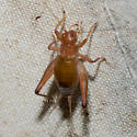 red-brown cricket - Anaxipha vernalis - female