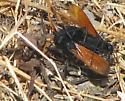 Spider Wasp's Prey - Entypus unifasciatus