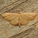 Moth - Idaea demissaria