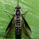 Unknown Fly - Thevenetimyia harrisi
