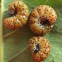 Dogbane Saucrobotys (Saucrobotys futilalis)  - Saucrobotys futilalis