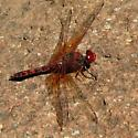 Dragonfly - Paltothemis lineatipes - male