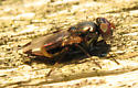 Picture-winged fly - Euxesta? - Euxesta notata - female