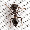 Acrobat Ant - Crematogaster ashmeadi