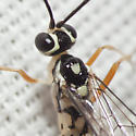 Ichneumon Wasp - Messatoporus discoidalis - male