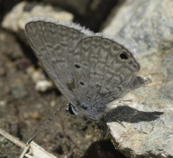 Butterflies were puddling along the trail - Hemiargus ceraunus