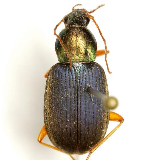 Chlaenius tricolor Dejean - Chlaenius tricolor