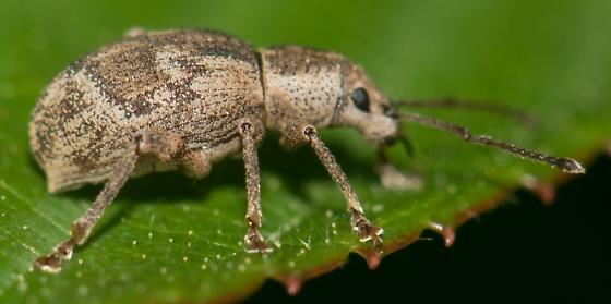 beetle? - Sciopithes obscurus
