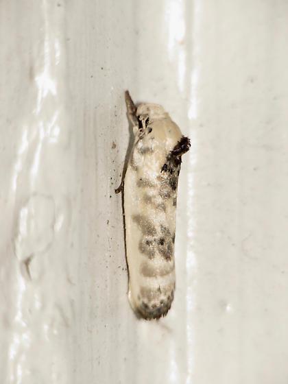 Pale Gray Bird-dropping Moth? - Antaeotricha