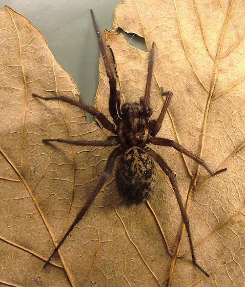 Tegenaria duellica (=gigantea) - The Giant House spider - Eratigena duellica - female