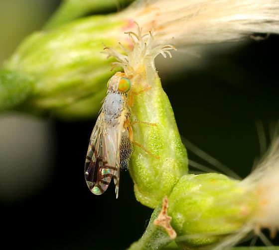 Diptera - Trupanea actinobola - female