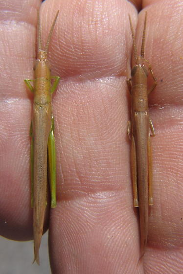 Leptysma marginicollis hebardi - Leptysma marginicollis - male