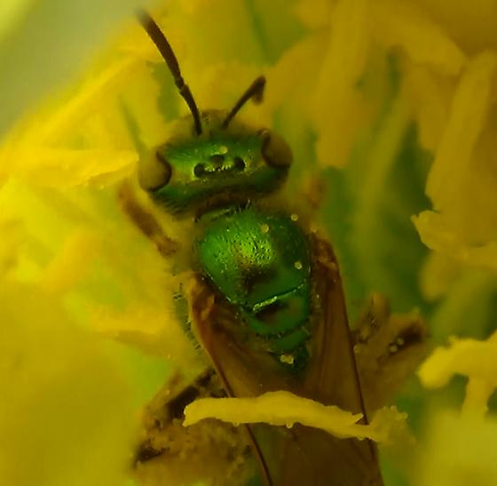 Green Sweat Bee on Cactus Flower Close ups - Agapostemon - female