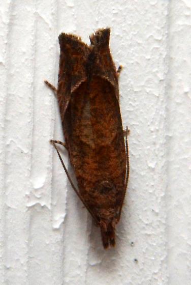 moth at porch light - Pelochrista derelicta