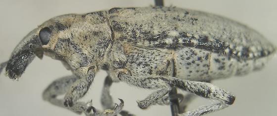 Scaphomorphus collaris (LeConte) - Scaphomorphus collaris