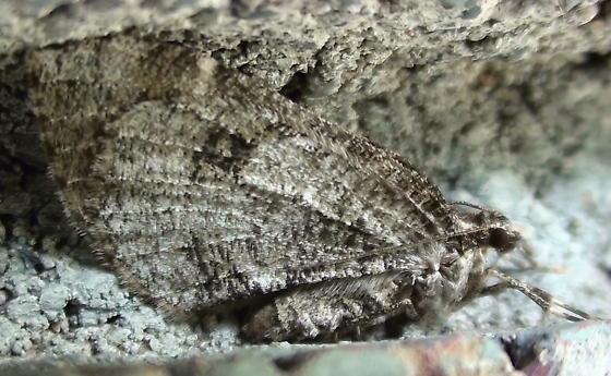 Geometridae: Stamnodes? - Stamnodes gibbicostata