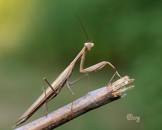 mantis - Mantis religiosa - male
