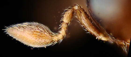 Micro-flea wasp, Specimen 1 lateral-posterior view of left antenna - Baeus - female