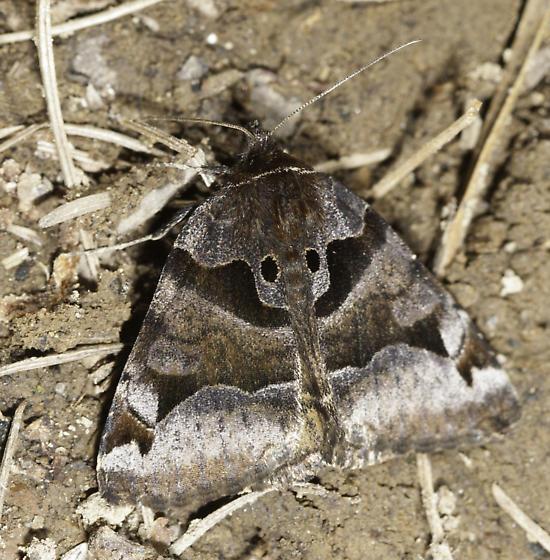 Beautiful dark moth that landed in the trail - Euclidia ardita