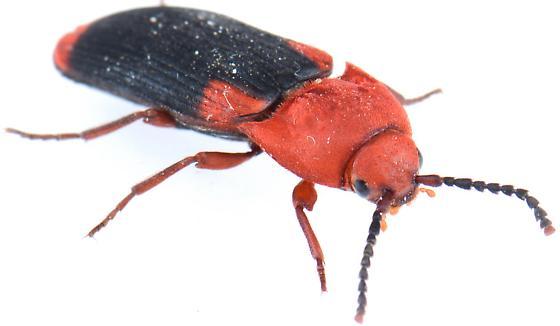 Palaeoxenus dorhnii - Palaeoxenus dohrnii