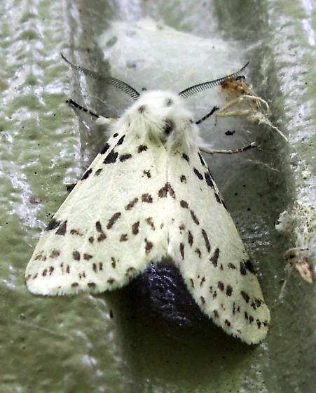 Fall Webworm Moth - Hodges#8140 - Hyphantria cunea