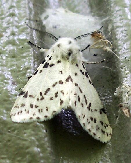 Fall Webworm Moth - Hodges#8140 - Hyphantria cunea