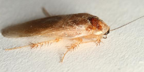 Corydiidae  - Eremoblatta subdiaphana