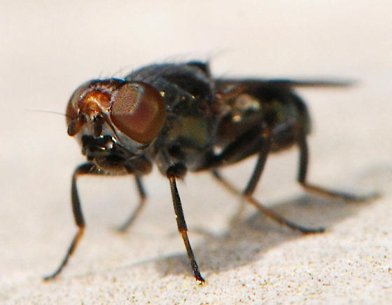 unknown black fly - Euxesta notata - male
