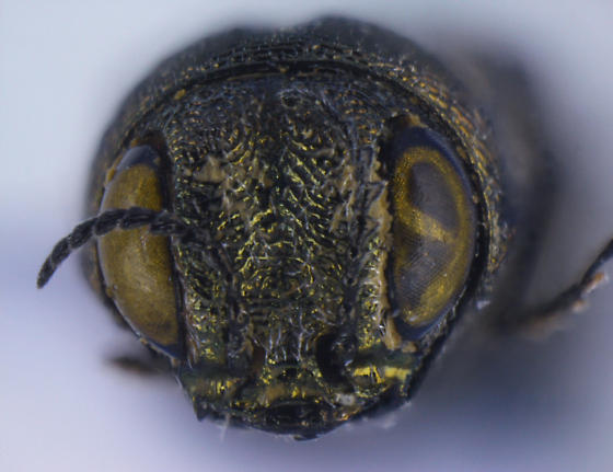 Agrilus abjectus Horn - Agrilus abjectus - male