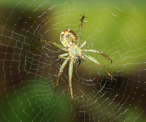 Spider - Mangora