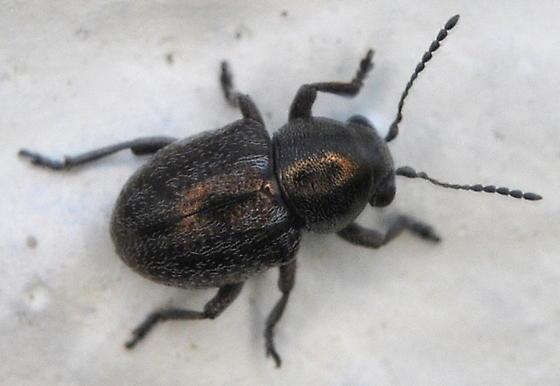 Beetle - Graphops curtipennis