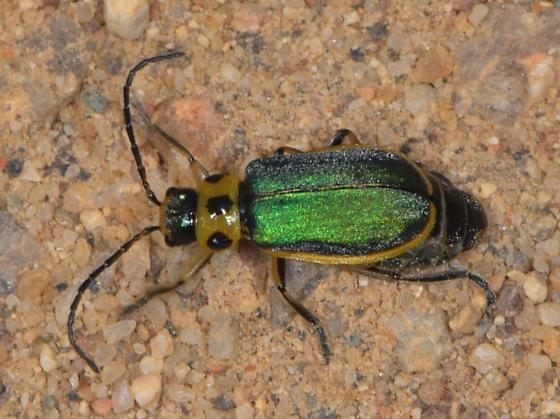 4854 - Trirhabda flavolimbata - female