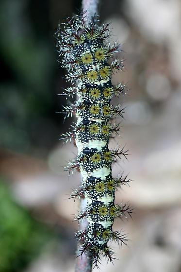 Hemileuca sp. - Hemileuca maia