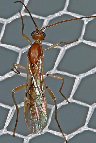 Skinny red wasp - Meteorus