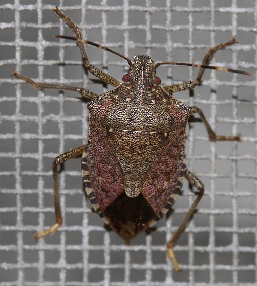 Brown Marmorated Stinkbug? - Halyomorpha halys
