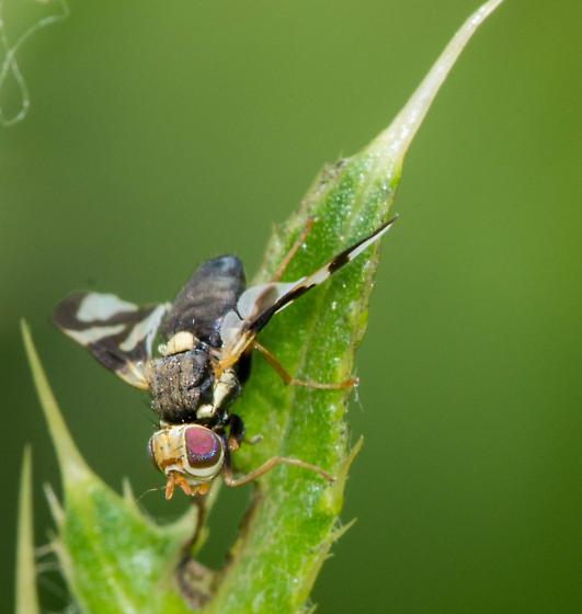Fly - Urophora cardui
