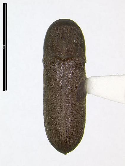 Dendrocharis inexpecta - Dendrocharis inexspectata